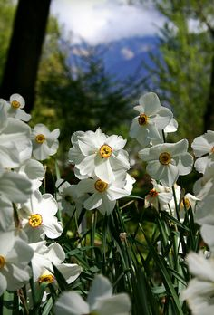 Narcissus poeticus in bloom,  Locarno, Canton of Ticino, Switzerland