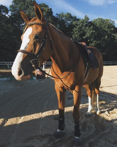 This is sunny, he is dutch warmblood. Him and my other horse bullet are both the same height. 16.3 hh