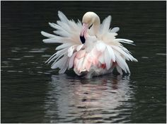 greater flamingo(photo by eric causse)