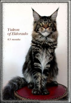 Yukon. Maine Coons vom Newanhof - Mainecoon Katzen Hobby Zucht Oberösterreich, 4501 Neuhofen - Mainecoon Austria What Cats Can Eat, Maine Coon Kittens, English Bull Terriers, Norwegian Forest Cat, All About Cats, Cool Cats, Funny Cats, Dog Cat, Birthday Images