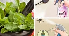 Hoduj tę roślinę w domu, a już nigdy nie zobaczysz w nim myszy, pająków i innych owadów