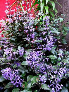 types of lavender plants today 39 s bloom is plectranthus. Black Bedroom Furniture Sets. Home Design Ideas