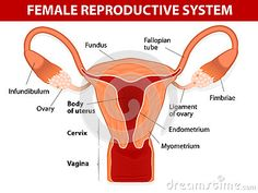 sexual health pictures the female reproductive system.aspx