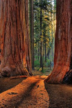 Sequoia Road ~ Grant Grove of giant sequoias in Kings Canyon National Park, California- I want to go to there Beautiful World, Beautiful Places, Beautiful Forest, Magical Forest, Beautiful Gorgeous, American National Parks, National Parks Usa, Parc National, Parcs