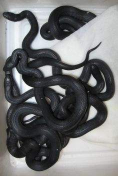 Snakes  (5/25/2013)