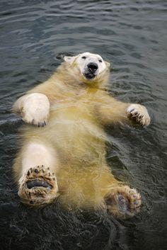 Relaxation - Polar Bear