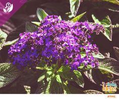 Já ouviu falar na flor Heliotrópio? Essa espécie é um arbusto da família borragináceas originárias da América do Sul. A flor é principalmente empregada para produzir notas de baunilha. Já o seu nome significa amor eterno.