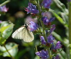 https://flic.kr/p/6HrHPU | Black-veined white on viper's bugloss, Vercors | Aporia crataegi