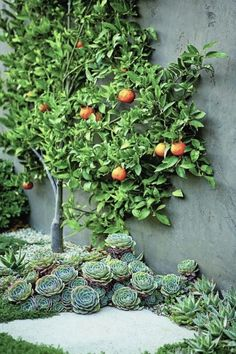 an espalier tangerine tree is surrounded by succulents at its base l Scott Shrad. - an espalier tangerine tree is surrounded by succulents at its base l Scott Shrader Informations Abou - Modern Landscaping, Backyard Landscaping, Landscaping Ideas, Backyard Trees, Backyard Plants, Hydrangea Landscaping, Backyard Layout, Fun Backyard, Sloped Backyard