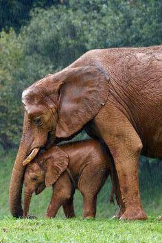 Mama elephant shielding her baby from the rain // Elefantes Elephant Day, Elephant Love, Animals And Pets, Baby Animals, Cute Animals, Baby Elephants, Elephants Photos, Safari Animals, Wild Animals