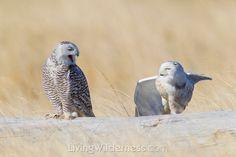 Snowy owls. Kevin Ebi