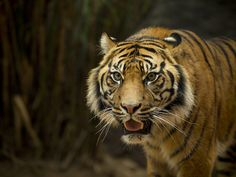 Handsome Tiger.