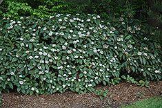 Viburnum Plicatum Mariesii Garden Pinterest Belle