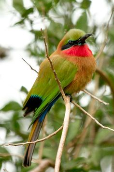 Red-throated Bee-eater (Merops buloki)