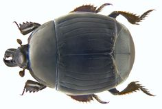 Family: Histeridae Size: 6 to 8.5 mm Origin: Europe Ecology: especially in old bird nests in hollow trees, in dung, in decaying vegetable matter Location: Corsica, Ghisonaccia leg.det. U.Schmidt, 1973 Photo: U.Schmidt, 2009