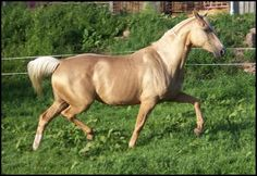 This is a Kinsky Warmblood. They often have a metallic sheen to their coat though not as pronounced as the Akhal Teke breed. The Kinsky is a fairly rare breed and there are only a handful of them in the USA