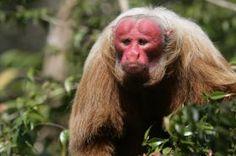Animais em Extinção no Brasil - UACARI-BRANCO Esse macaco é encontrado na Amazônia e sua principal característica física é sua cara vermelha. O principal problema enfrentado pela espécie é a caça ilegal e o desmatamento da região. (Espécie vulnerável)