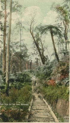 Tram track and tree ferns, Warburton