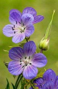 Meadow Cranesbill (geranium Pratense), great plant for many locations, long lasting flowers Flowers Nature, Exotic Flowers, Amazing Flowers, Purple Flowers, Wild Flowers, Beautiful Flowers, Geranium Pratense, Cranesbill Geranium, Wild Geranium