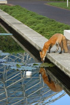 A thirsty fox grabbing a drink by the Climatron.