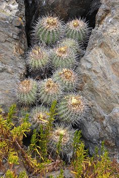 Cactus at Punta de Choros, Chile