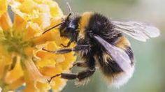 Pesticides maken hommel kleiner | GoedGezond