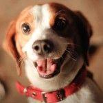 We are a beagle loving family!