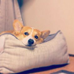 #dog #corgi
