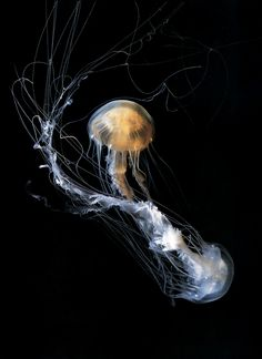 Jellyfish Part II by Guido Mocafico (2009)