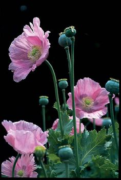 growing annual poppies, with marilyn barlow - A Way To Garden - Flores Flowers Nature, Exotic Flowers, Pink Flowers, Beautiful Flowers, Poppy Flowers, Art Floral, Pink Poppies, Yellow Roses