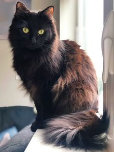 Coco is watching for hummingbirds so she can stare intensely at them Pretty Cats, Beautiful Cats, Cute Funny Animals, Cute Cats, Pet Dogs, Dog Cat, Cute Marshmallows, Warrior Cats, Maine Coon