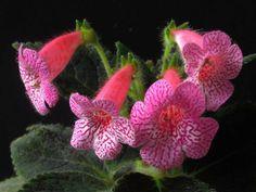 Kohleria amabilis – Tree Gloxinia → Plant profile and more photos at: http://worldoffloweringplants.com/kohleria-amabilis-tree-gloxinia/ → More flowering plants at: http://worldoffloweringplants.com/browse-flowering-plants-scientific-name/