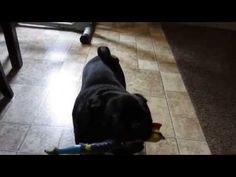 Come and get that chicken pug - YouTube