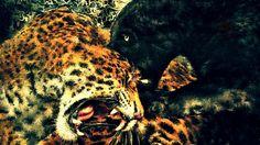 昨日黒豹と赤豹をお絵描きしました、約制作時間6時間その間は集中していて、お手洗いも忘れます以前姉の大学病院で研究材料にされたことが有ります、僕ともう一人は狂言師の方で、僕の場合は絵を描くとき体温が39度以上まで上がってました、もう一人の人も同じようで体温が上がったそうです、普段病気で38度以上あればうなされてます、不思議ですね絵を描いているとき体温が上がっても平気ですが、描き終わった後はどっと疲れが来ます。  Vinicius de Moraes - Samba em Prelúdio http://youtu.be/_idt_FG0RWc