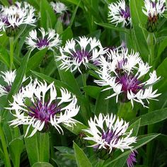 Centaurea Montana 'Purple Heart'