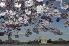 photos of cherry blossoms in washington dc | , cherry blossom trees bloom along the tidal basin in Washington ...