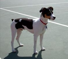 Rat Terrier  Finally...I know what my rescue is! She has a long tail though which I like better.