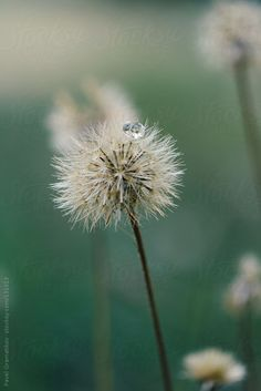 Premium, royalty-free stock photography and cinematography – welcome spring Perfect Image, Perfect Photo, Dandelion Wish, Welcome Spring, Small World, New Beginnings, Royalty Free Photos, The Unit, Drop