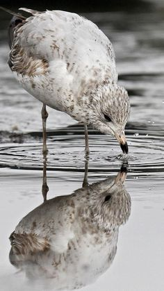 A seagull takes a drink from a pool of standing water at the marina on Deep Creek after an overnight rain. (Photo by Rob Ostermaier / Daily Press) The Virginian, Rain Photo, Hampton Roads, The Hamptons, Deep, Drink, Water, Pictures, Photos