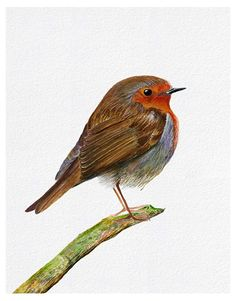 Robin bird watercolor painting artwork. Limited edition signed prints available.