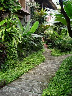 Epipremnum aureum as groundcover, Musa, Croton, Asplenium, Etlingera, palms and more. Sri Phala Resort, Bali.