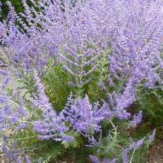 To 6 feet tall; Full sun and well-drained soil. Salvia, 6 Images, Russian Sage, Planting Plan, Flower Farm, Plantation, Drought Tolerant, Fall Flowers, Gardens