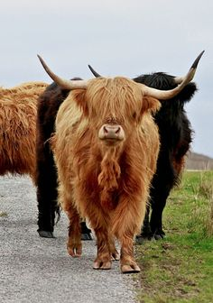 In the Scottish Highlands these guys rule the roads!  (link has full photograph)