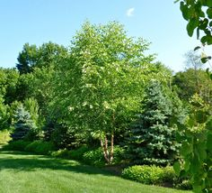 Image result for mixing columnar evergreens and deciduous trees on a long driveway