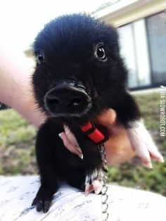 Funny pictures about Baby pet piglet. Oh, and cool pics about Baby pet piglet. Also, Baby pet piglet. Cute Baby Pigs, Baby Piglets, Cute Piglets, Cute Baby Animals, Animals And Pets, Funny Animals, Cute Babies, Wild Animals, Image Tatoo