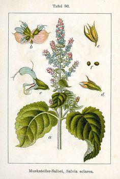 Salvia sclarea Sturm50 - Salvia sclarea Geheugenverlies