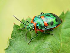 The World's Most Colorful Winged Creatures ~ Metallic Shield Bug