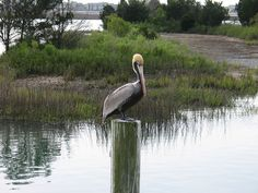 Murrells Inlet pelican