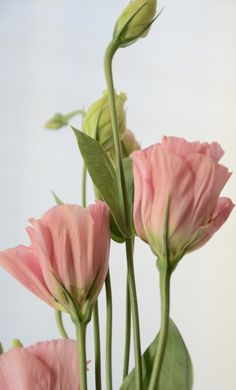 Unfurling of pink hollyhocks!!! Bebe'!!! Blossoms that are rolled up petals…