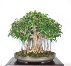 The banyan bonsai is a great and acknowledged bonsai tree. The banyan tree bonsai is likewise connected with enchantment and spirituality. Banyan Tree Bonsai, Bonsai Ficus, Bonsai Tree Care, Indoor Bonsai, Bonsai Art, Bonsai Plants, Bonsai Garden, Bonsai Forest, Bonsai Trees